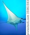 魟魚 黃貂魚 光線 35061563