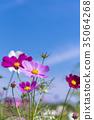 푸른, 하늘, 코스모스 35064268