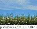 蓬松的头发 锦葵科 锦葵属 35073873