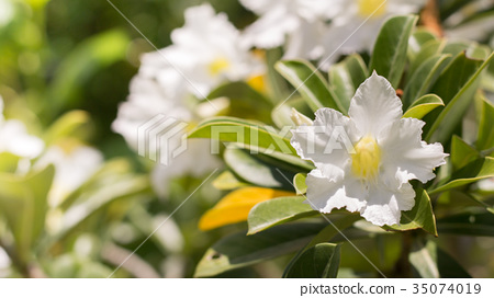 beautiful white flower in garden. 35074019