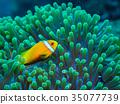 小丑鱼 鱼 咸水鱼 35077739