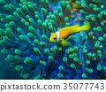 小丑鱼 鱼 咸水鱼 35077743