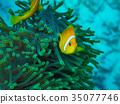 小丑鱼 鱼 咸水鱼 35077746