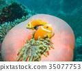 小丑鱼 鱼 咸水鱼 35077753