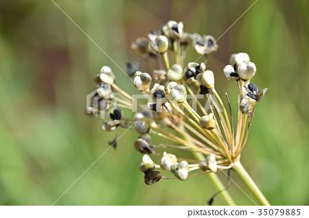 Nila seeds 35079885
