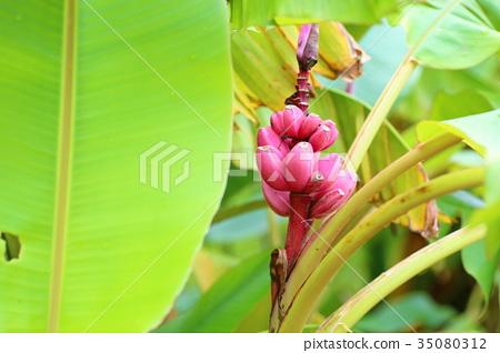 핑크 바나나의 열매 35080312