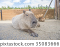 capybara น่ารักที่จะผ่อนคลาย 35083666