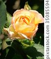 rose, roses, bloom 35085594