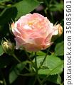 rose, roses, bloom 35085601