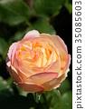 rose, roses, bloom 35085603