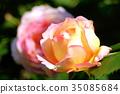 rose, roses, bloom 35085684