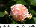 rose, roses, bloom 35085689