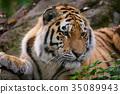 老虎 虎 臉部 35089943