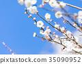 ท้องฟ้าสีฟ้าและลูกพลัมท้องฟ้าสีขาวพลัมดอกพลัมสีขาวดอกพลัมพลัมป่าดอกไม้ 35090952