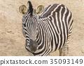 Zebra Chapman, Equus Burchelli Chapmani 35093149