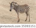 Young Zebra Chapman, Equus Burchelli Chapmani 35093151