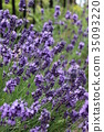 English lavender 35093220