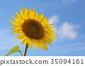 sunflower, sunflowers, summer 35094161