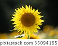 sunflower, sunflowers, summer 35094195