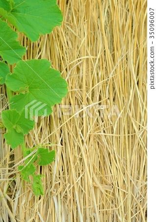 나뭇잎과 짚으 4 35096007
