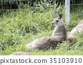 袋鼠 東部灰袋鼠 外形 35103910