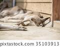袋鼠 東部灰袋鼠 睡覺 35103913