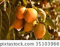 日本柿 柿子 甜柿 35103966