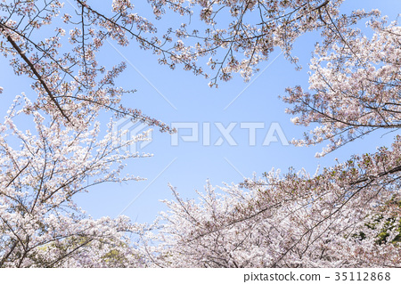 See the blue sky over the cherry blossoms in full bloom 35112868