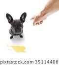 animal bulldog french 35114406