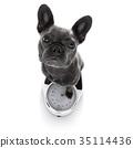 Measuring animal bulldog 35114436