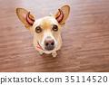 動物 狗 狗狗 35114520