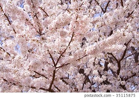아름답게 피는 꽃 벚꽃 35115875
