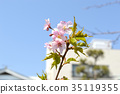 Pink leaves cherry 35119355