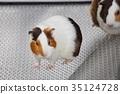 荷蘭豬 美麗 動物園 35124728