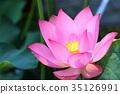 aquatic, plant, lotus 35126991