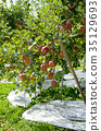 apple, agricultureh, farming 35129693