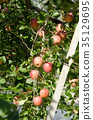 apple, agricultureh, farming 35129695