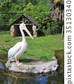 분홍, 펠리칸, 연못 35130340