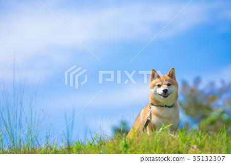 Shiba Inu on green background Domestic dog Japanese dog Sky and dog 35132307