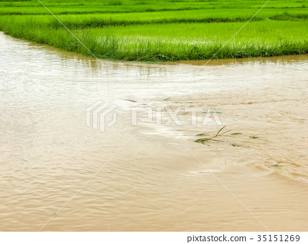Agriculture Rice field flooded damage after heavy  35151269