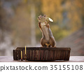 squirrel holding a french horn 35155108