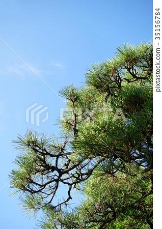 南欧黑松 松科 植物 35156784