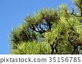在蓝天的黑松树 35156785