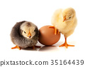 Cute little chicken with eggshell isolated on 35164439