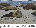 Female Southern Elephant Seal and pup 35164887