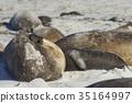 Southern Elephant Seals  35164997