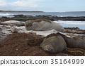 Southern Elephant Seals  35164999