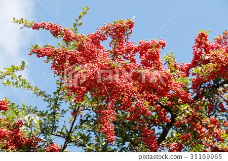 水果 莓 浆果 35169965