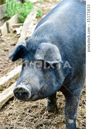 阿古豬 35173810
