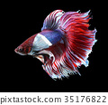 Betta fish, siamese fighting fish, betta splendens 35176822